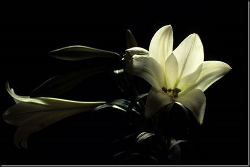 lys_blanc_6
